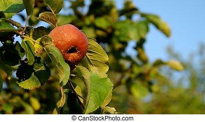 Rotten apple on the tree
