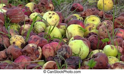 Rotten apples on grass
