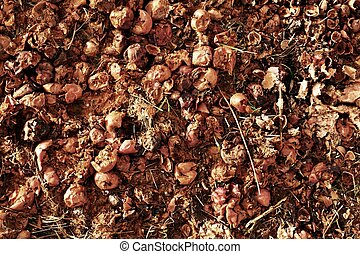 Rotten apples prepared as feed for farm animals