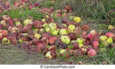 Rotten apples with insects