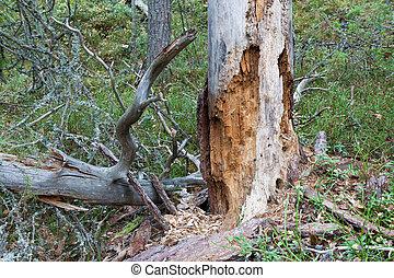 Rotten dead wood tree in forest