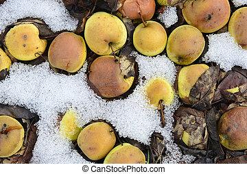 rotten fallen apples in an orchard