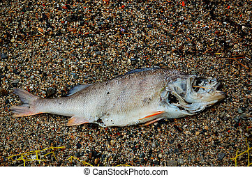 rotten fish - Rotten fish in the sand. Water pollution...