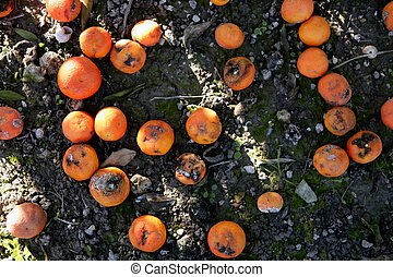 Rotten orange citrus on the floor - Rotted oranges on the...
