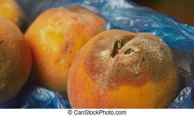 rotten peaches with mold and worms 4k, close-up. - rotten...