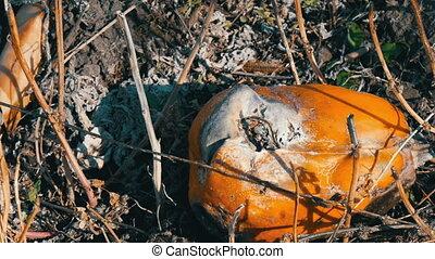 Rotten pumpkin growing on the field