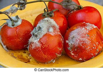 Rotten tomatos on vine with white mold