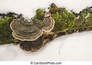 Rotten tree trunk with fungus and moss lying in the snow