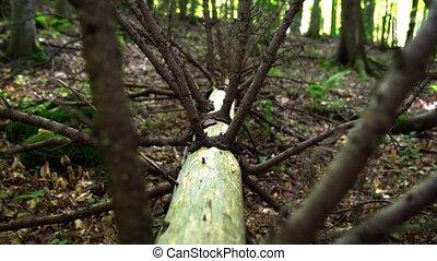 Rotten trunk of a fallen old spruce in the forest. Ukraine, Carpathians