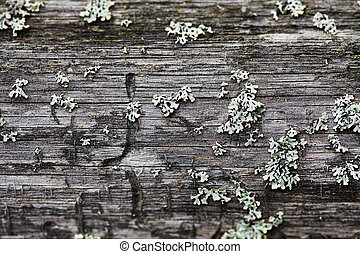 Rotten wood and lichen. Close up shot. Nature texture