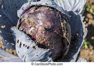 Rotting Red Cabbage in garedn allotment
