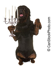 rottweiler and silver candelabrum in front of white...