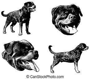 rottweiler, bosquejo, perro