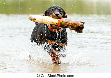 Young Rottweiler Pup Retrieving A Huge Wood From The Water