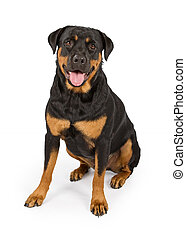 Rottweiler Dog Isolated on White - Rottweiler dog sitting...