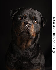 Rottweiler dog portrait on a black background