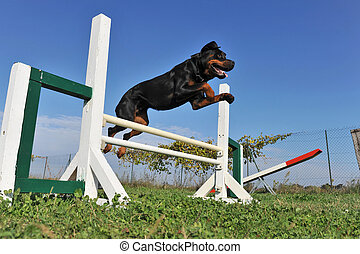 purebred rottweiler jumping in a training of agility