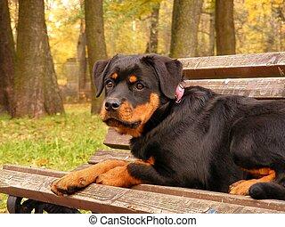 Rottweiler lying on the garden bench - Rottweiler pup ...