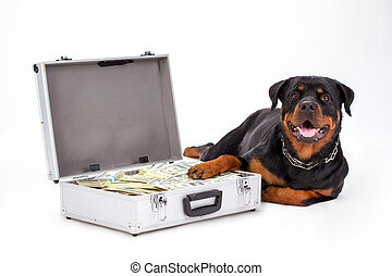 Rottweiler protecting suitcase full of dollars.