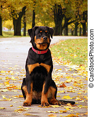 Rottweiler pup in the alleyway - Rottweiler pup sitting in ...