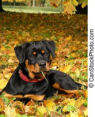 Rottweiler pup lying on the ground in forest - Cute 5 month ...
