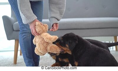 Rottweiler puppies biting plush teddy bear toy in woman hands on floor at home