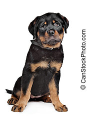 rottweiler puppy in front of a white background