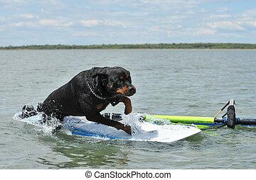 rottweiler, windsurf