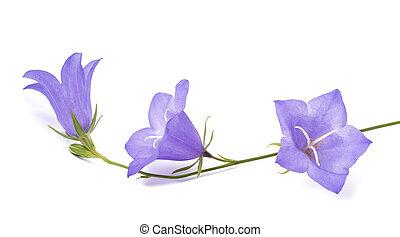 rotundifolia, campanula, ), bellflowers, (