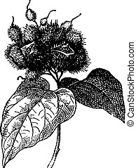 roucou, annatto, vendange, (fruit), ou, engraving.