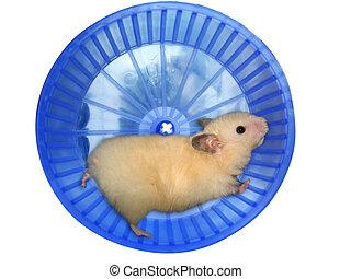 roue, hamster