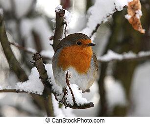 rouge-gorge, dans, hiver