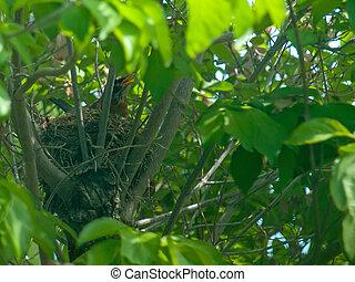 rouge-gorge, rouges, poitrine, dans, a, nid, dans, a, arbre cornouiller
