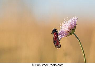 rouge noir, papillon, fleur