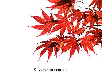 rouges, érable japonais, isolé