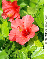 rouges, hibiscus
