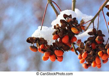 rouges, hiver, baie, à, neige