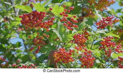 rouges, jardin, viburnum, branche
