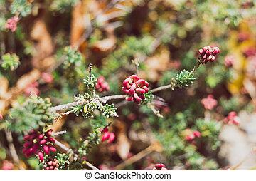 rouges, lanigera, ensoleillé, grevillea, fleurs, gros plan, arrière-cour, s, extérieur