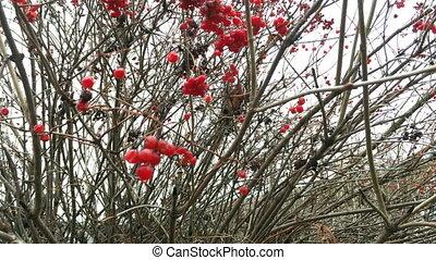 rouges, opulus., juteux, groupes, baies, viburnum, ou, branches, arbre., pendre