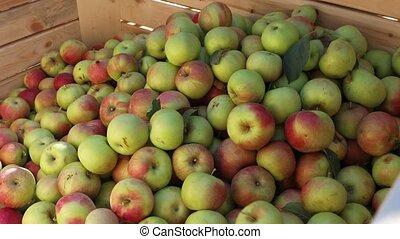 rouges, récolte, pomme, ou, récolte
