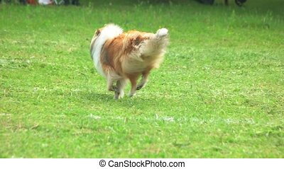 Rough Collie dog is running in slow motion.