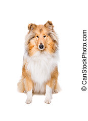 rough collie dog - rough collie sitting in front of a white ...