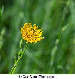 Rough hawksbeard flower close-up at summer seasonwith small insect gathering nectar