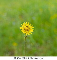 Rough hawksbeard flower in a wild summer field