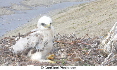 Rough-legged Buzzard chick in nest 2. background is river canyon in polar desert