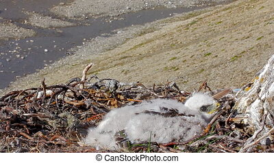 Rough-legged Buzzard chick in nest. background is river canyon in polar desert.