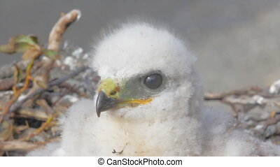 Rough-legged Buzzard chick in nest. Novaya Zemlya Archipelago. Arctic