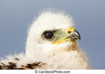 Rough-legged Buzzard chick. Novaya Zemlya Archipelago....