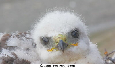 Rough-legged Buzzard chick. Novaya Zemlya Archipelago. Arctic